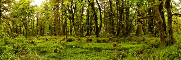 QuinaultRainforest